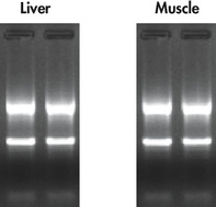 High quality total RNA from rat liver and muscle tissue.