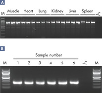 Consistent PCR results.