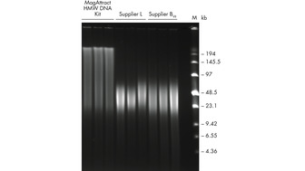 Successful isolation of high-molecular-weight DNA.