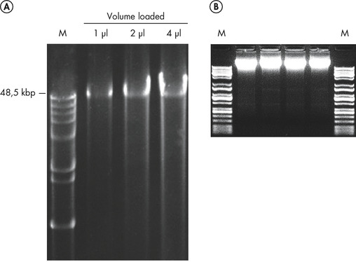 Figure 2. Visibly clean high-molecular weight DNA.