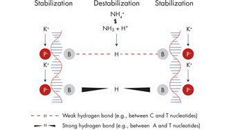 NH4+ and K+ cations in QIAGEN PCR buffers increase specific primer annealing