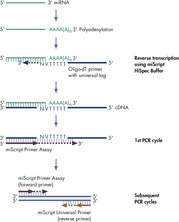 Selective conversion of mature miRNAs into cDNA in miScript HiSpec Buffer.