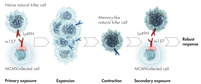 Generation of NK cell memory