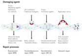 DNA damage repair pathways