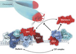 The CST complex limits elongation by telomerase