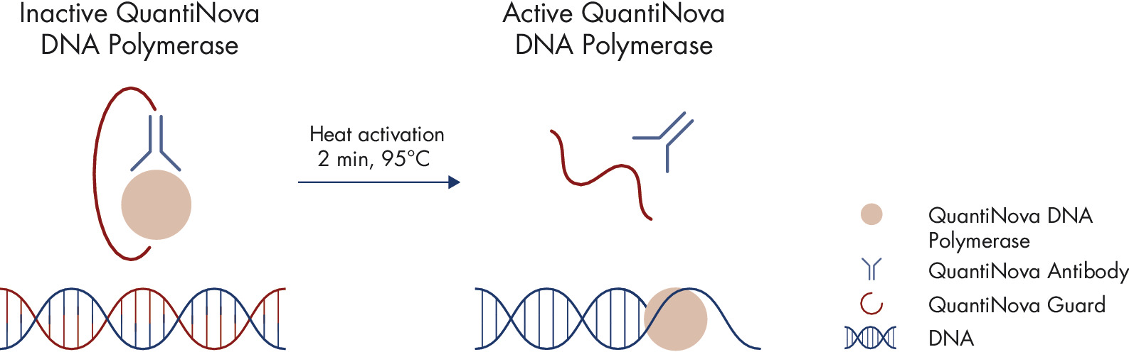 Principle of the novel QuantiNova hot-start mechanism.