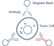 Figure 3: A CTC captured by three antibodies coupled to magnetic beads.