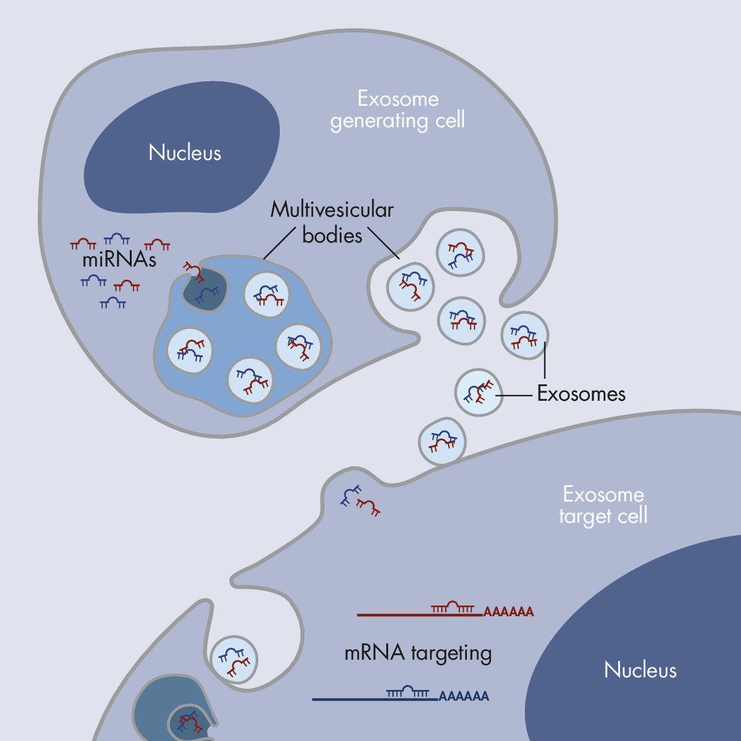 The hypothesis of exosomal shuttling of miRNAs.