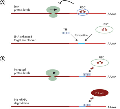 LNA-enhanced target site blockers compete effectively with RISC for miRNA binding site.