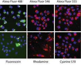 Alexa Fluor labeled siRNA provides brightest fluorescence.