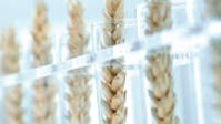 wheat in lab