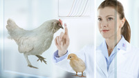 Veterinary subvisual poultry