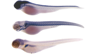 miRNA detection in zebrafish.